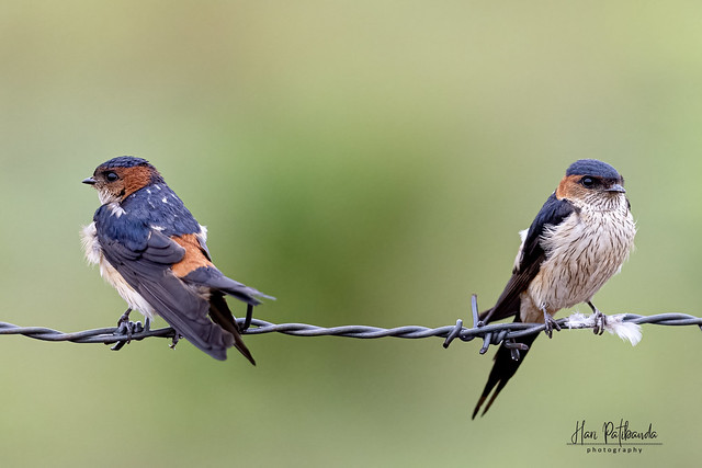 A Pair of Red-Rumped Swallows ready to fly