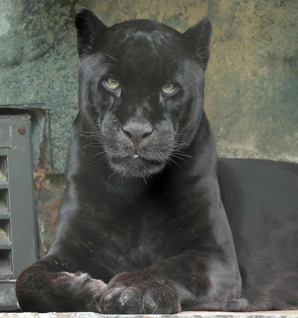 jaguar Mowgli Artis 9K2A8303