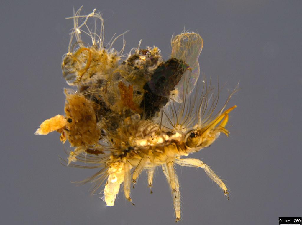 16a - Chrysopidae sp.