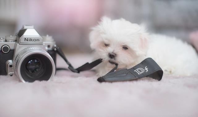 Nikon DF & a baby Maltese