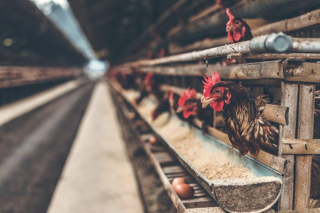 轉型永續糧食系統 歐洲逐步淘汰籠飼 擴及鴨、鵝、家兔等農場動物