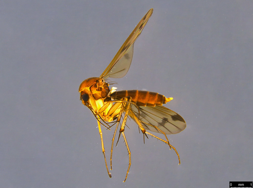 6a - Sciaroidea sp.