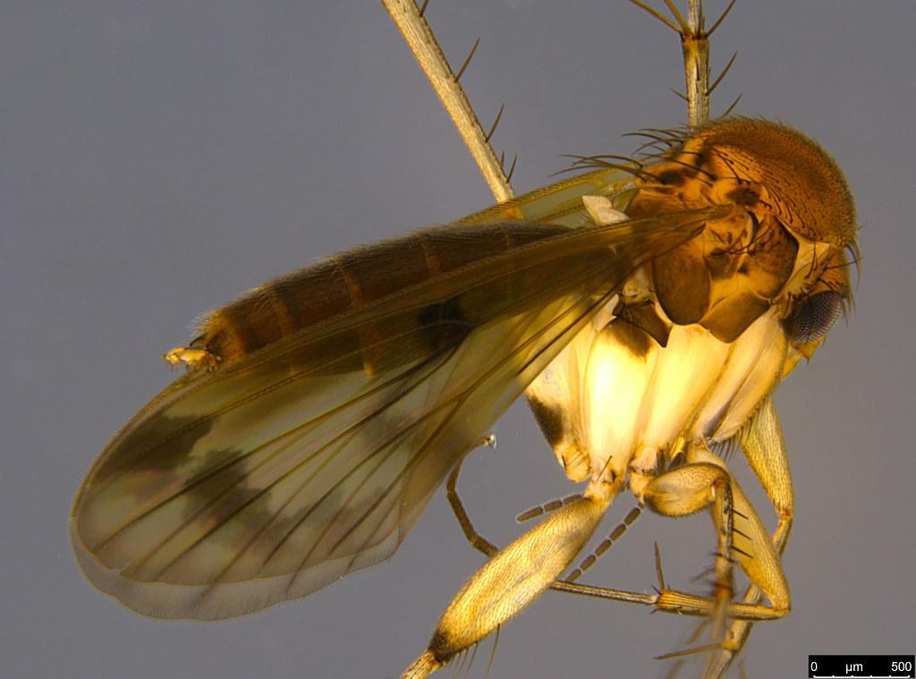 7b - Sciaroidea sp.