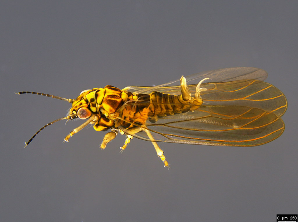11a - Psylloidea sp.