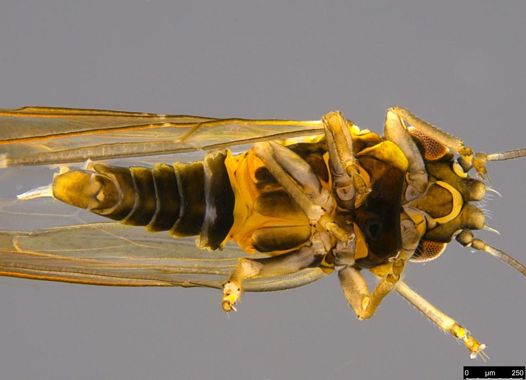 11e - Psylloidea sp.