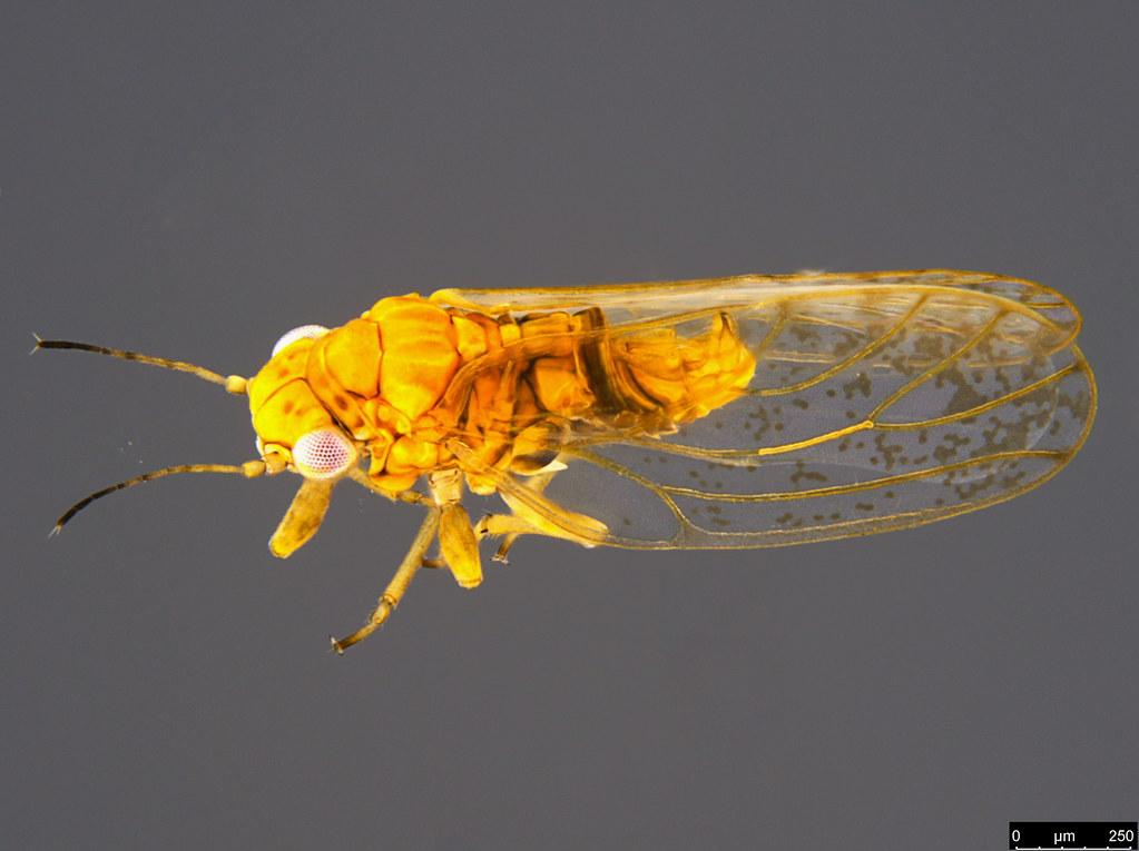 12a - Psylloidea sp.