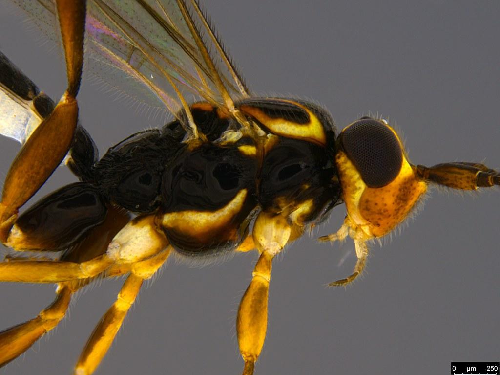 13b - Orthocentrus sp.
