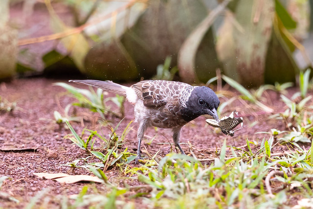 A Red Vented Bulbul With a Butterfly for food