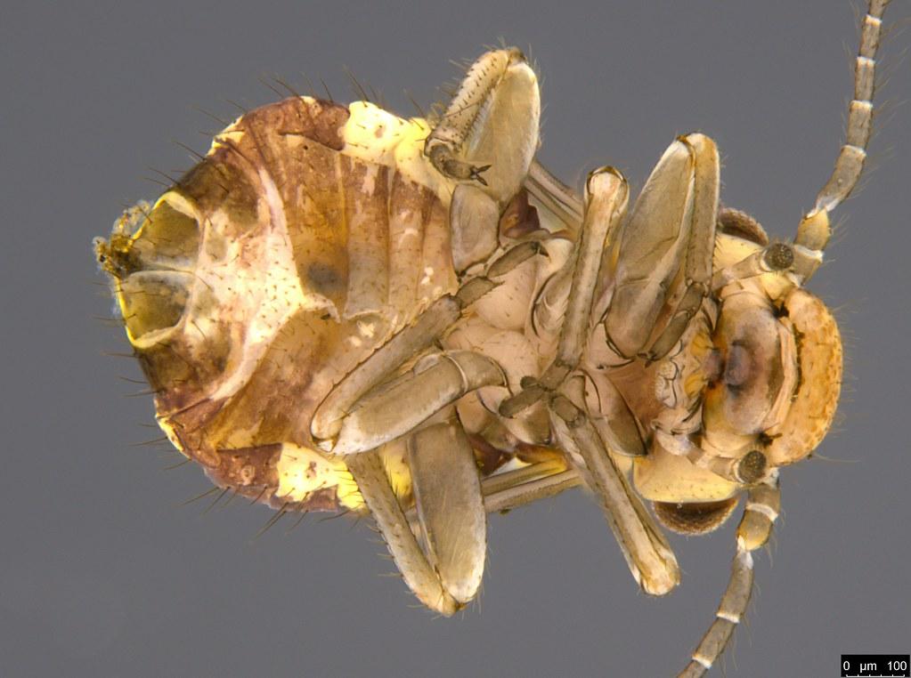 17d - Psocodea sp.