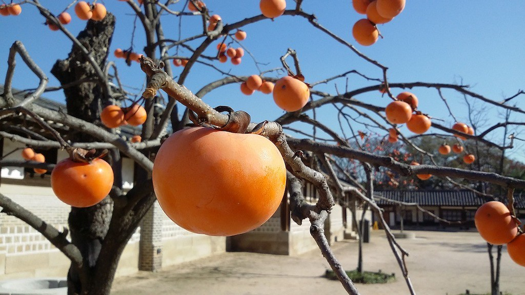 Persimmons growing on a persimmon tree.