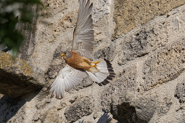 Faucon crécerellette (mâle) - Falco naumanni - Lesser Kestrel - Rötelfalke - Cernícalo primilla - Grillaio