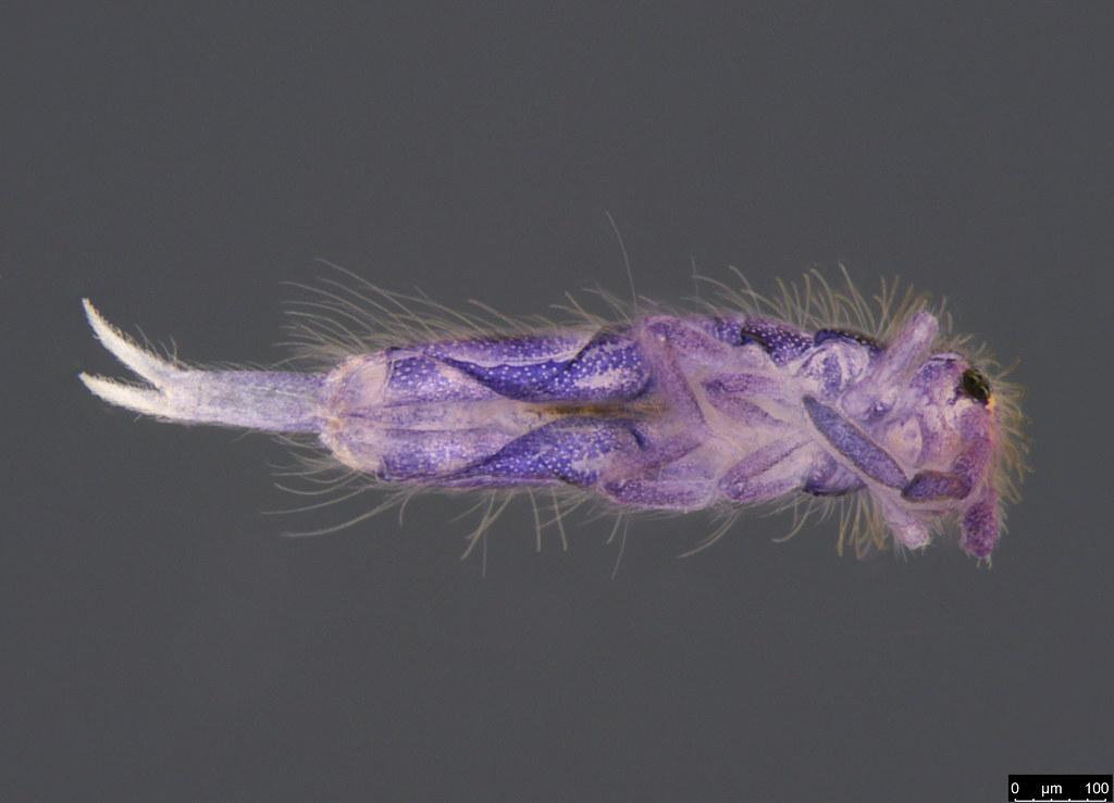 2a - Entomobrya sp.