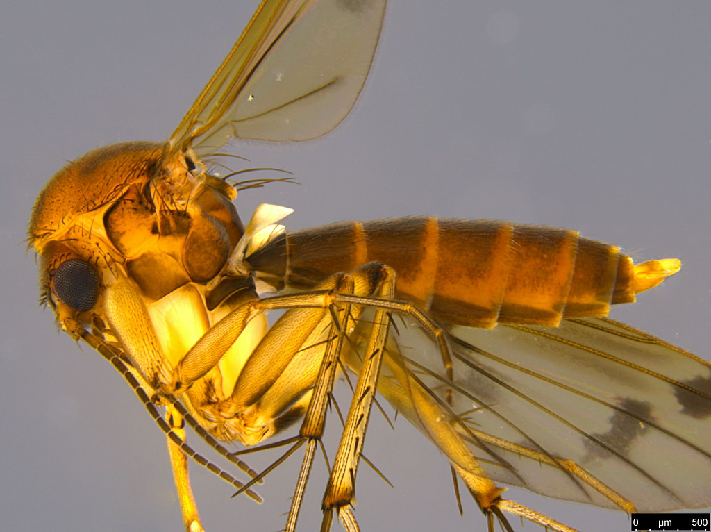6b - Sciaroidea sp.