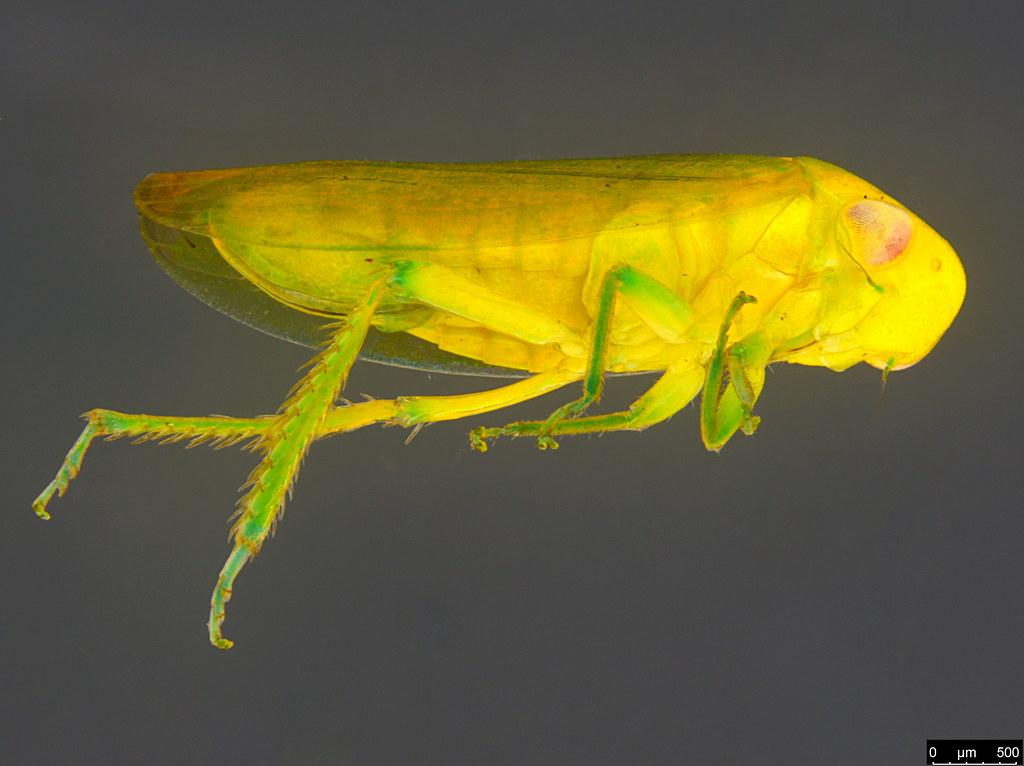 10a - Cicadellidae sp.