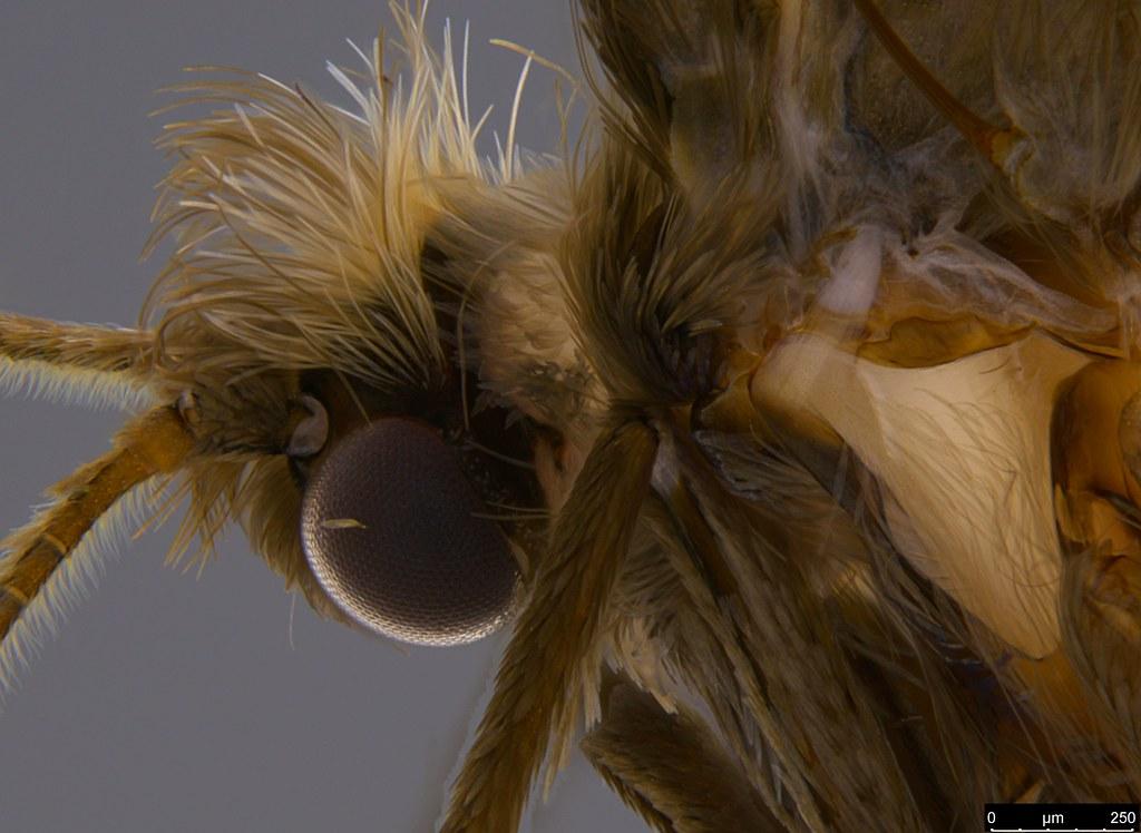14c - Psychidae sp.