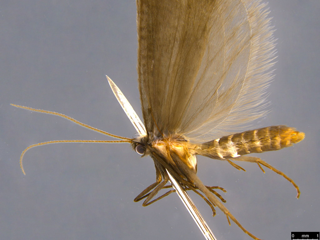 15b - Psychidae sp.