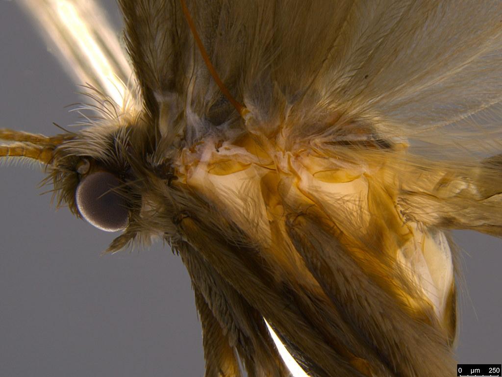 15c - Psychidae sp.
