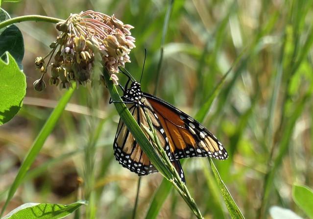 Monarch on Milkweed (Explored)