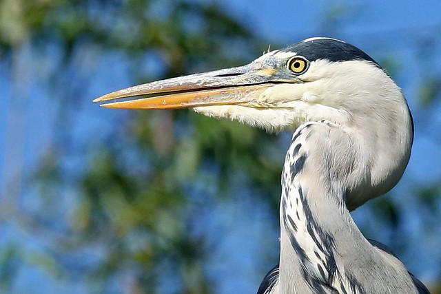 A Grey Heron. Taking a break from preening.