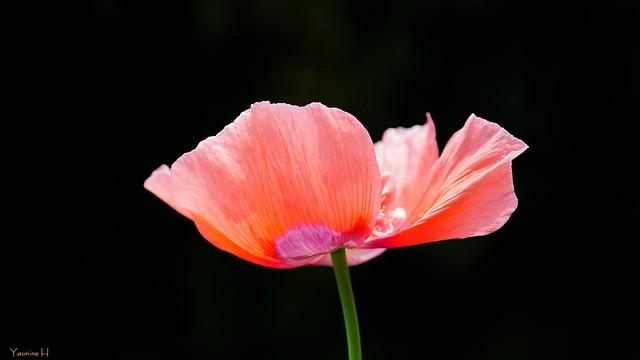 9938 - Poppy