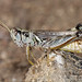 Grasshoppers and Mormon Crickets in Western States
