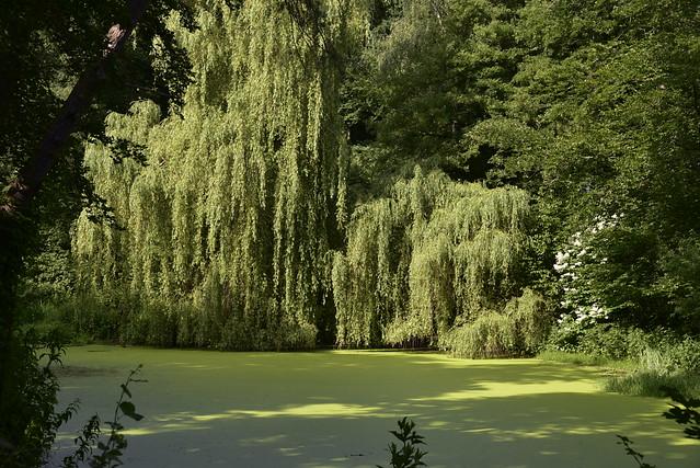 Trauer-Weide (Salix × sepulcralis) am Teich in Holbek; Schwabstedt, Nordfriesland (12)