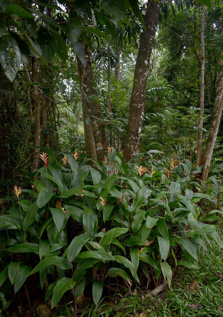 Heliconia psittacorum, near Mossman, QLD, 11/06/21