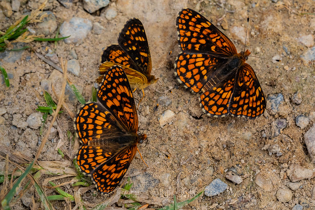 Brush-footed Butterflies Puddling in the Garnet Mountains