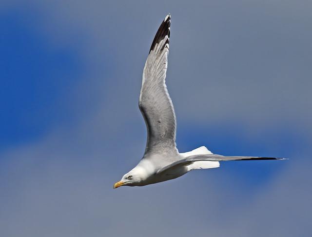 Herring Gull, via window