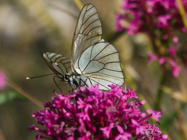 Aporia crategi  (Pierideae)