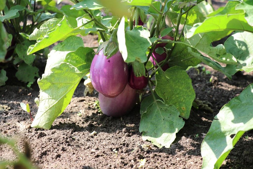 Baby Eggplant Emoji