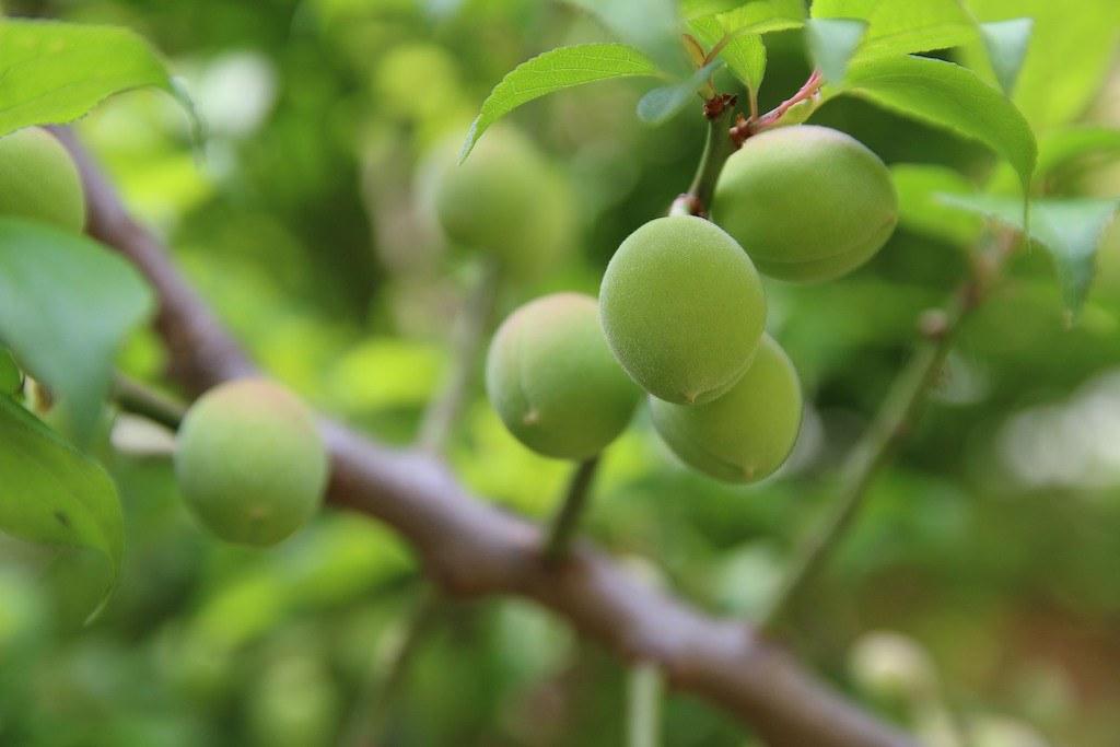 Korean green plums on the tree.