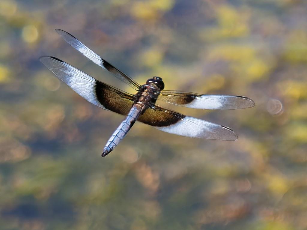 Widow Skimmer in Flight