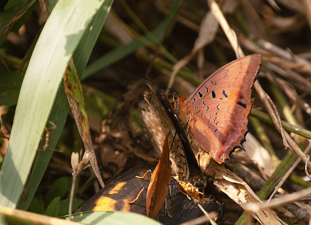 Violet-washed or Common Red Charaxes, Bonkro Forest, Ghana