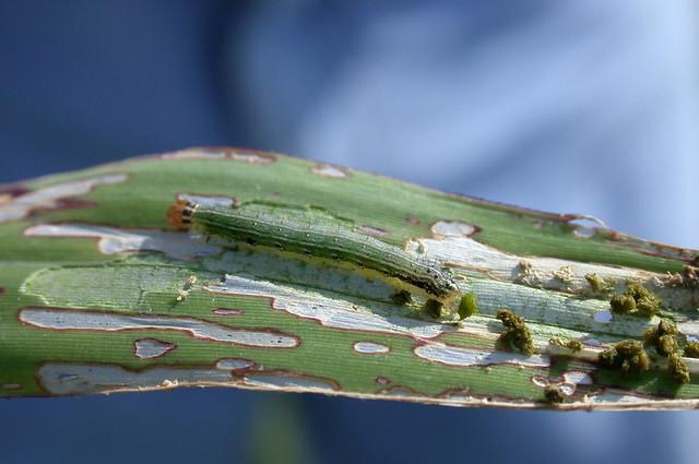 armyworm window pane feeding