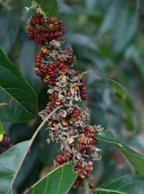 Glochidion philippicum, Mossman Gorge Visitor Centre, QLD, 11/06/21