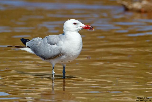 Audouin's Gull, Ichthyaetus audouinii