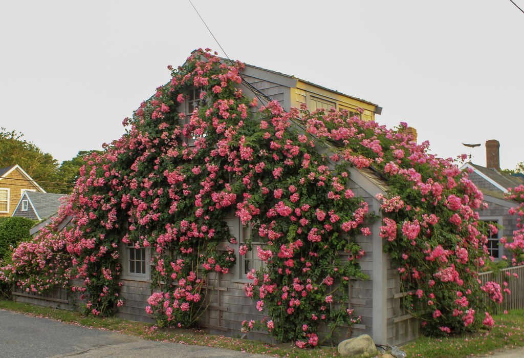 Rose covered cottage, Scionset