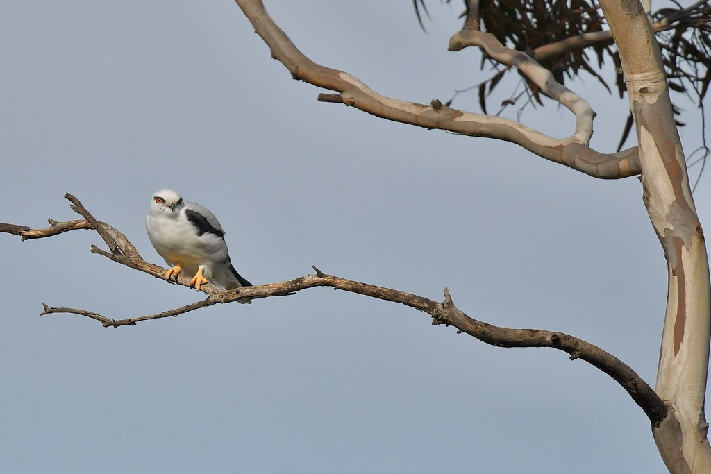 Black-shouldered Kite  ( its cold and windy )