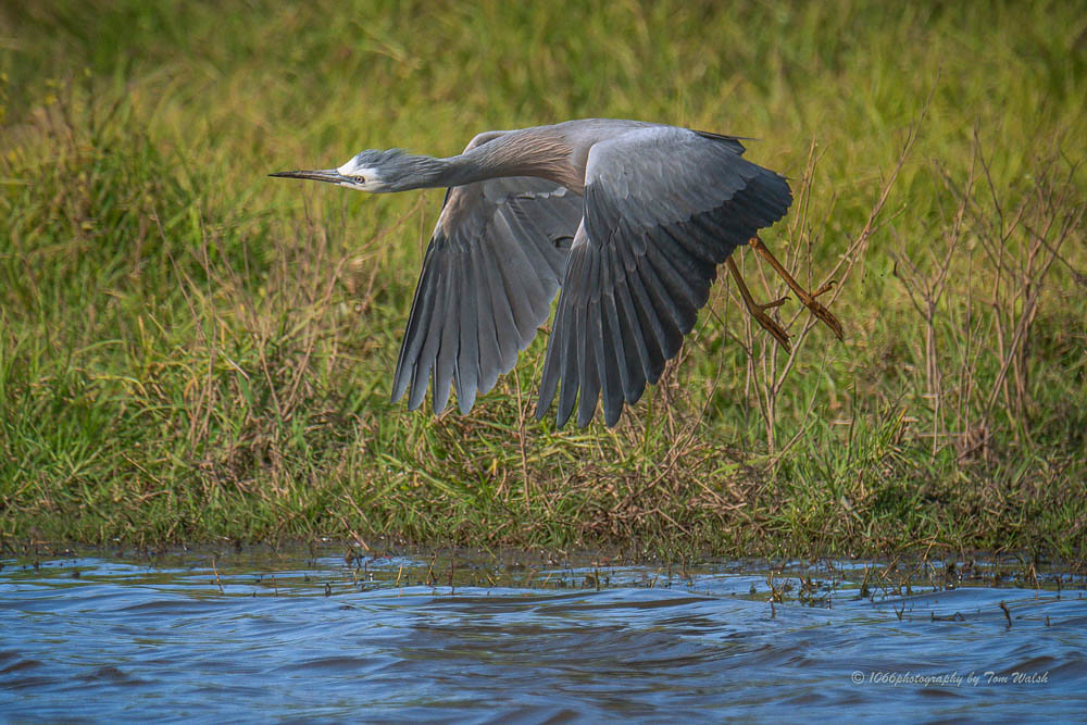 Heron on the fly…..