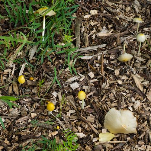 Yellow fieldcaps, Bantock Park