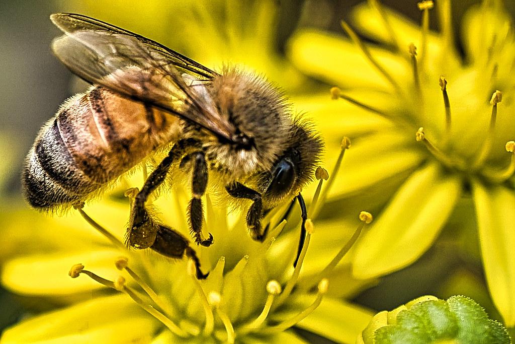 Australian bee macro