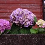 錆色・紫陽花