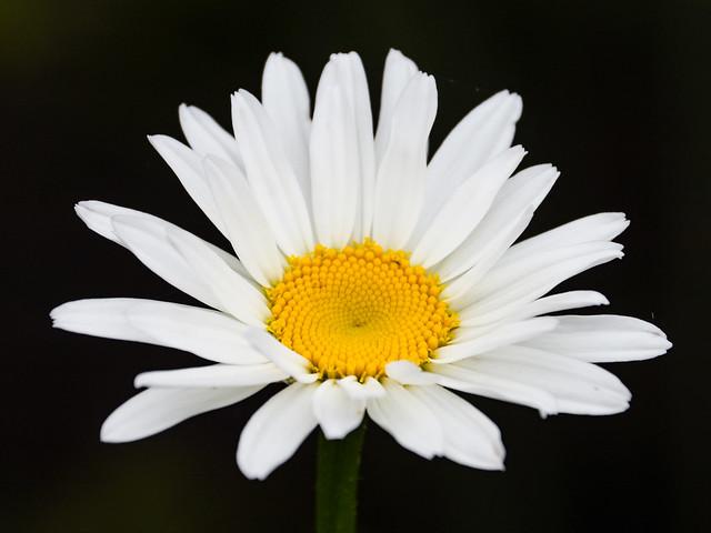 Blanche marguerite!/ White daisie!