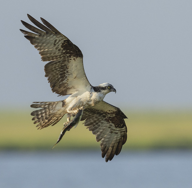 Osprey returning to the nest with a fish {Explored!  Thank you so much!!}
