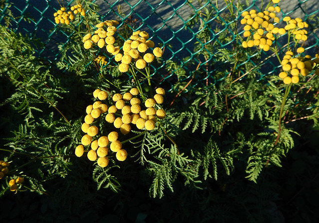weeds with yellow flower growing up against a green chainlink fence