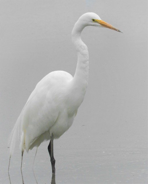 Great Egret on a Foggy Morning