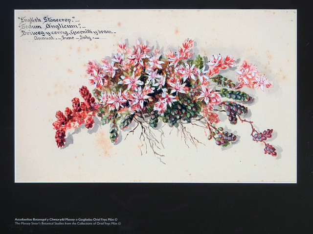 Botanical painting of the pink wildflower Stonecrop, at the old brickworks near the North Stacks in Anglesey, Wales