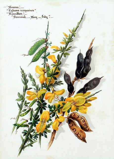 Botanical painting of the yellow wildflower Broom at the old brickworks near the North Stacks in Anglesey, Wales