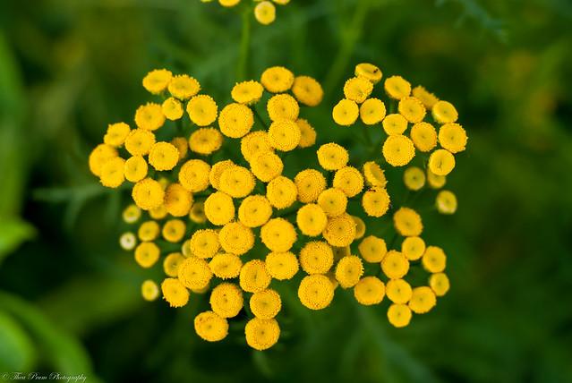 Delightful little yellow golden buttons.